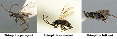 Wasps named after Tolkein