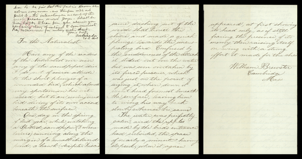 This undated letter from William Brewster (1851–1919)—a renowned American amateur ornithologist, first president of the Massachusetts Audubon Society, and a president of the American Ornithologists' Union—to the editor of The American Naturalist records his observations of a spotted sandpiper diving into a pond to escape a hawk.