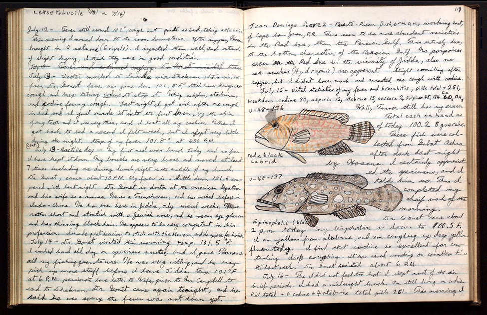 Page 117 of Donald Erdman's journal includes a drawing of a red and black Labrid [sic] and Epinephelus. The page is from a field book documenting Erdman's specimen collecting in the Persian Gulf and Red Sea under the auspices of the Arabian American Oil Company in 1948.