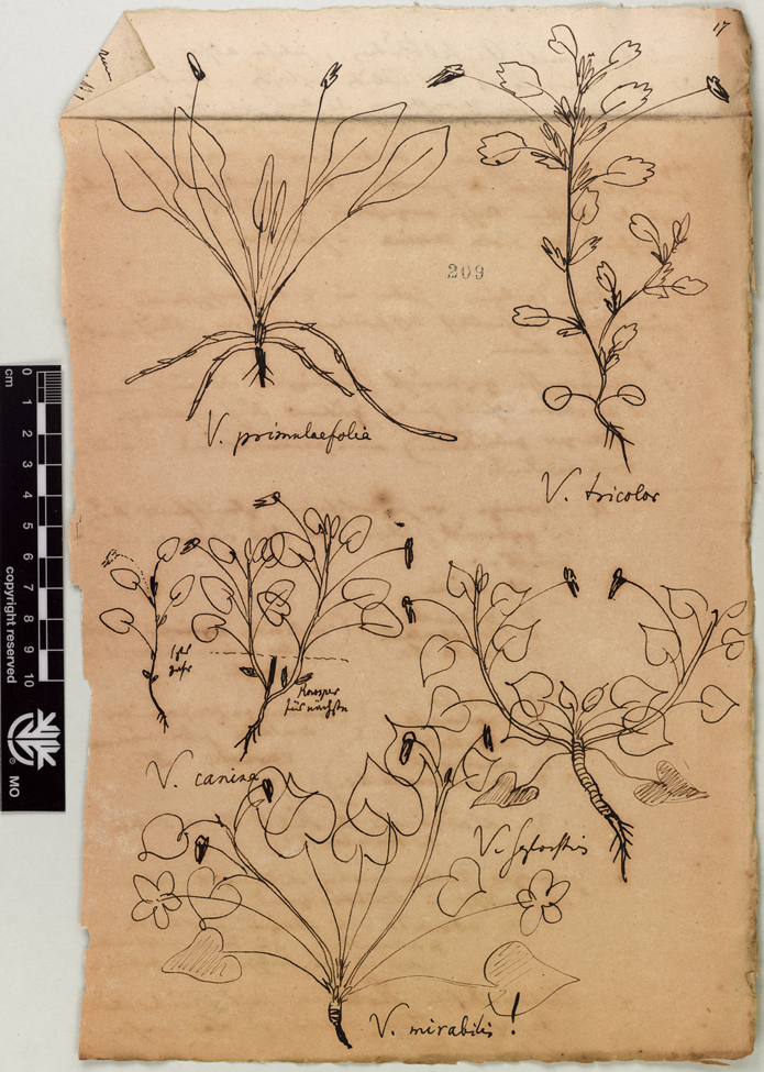George Engelmann was a German-American botanist who was instrumental in describing the flora of western North America. This drawing is from a collection of notes on 23 botanical families. The folders contain original handwritten notes and botanical sketches (some in color), some written and drawn by Engelmann, some sent to him. This drawing includes species of Violaceae.