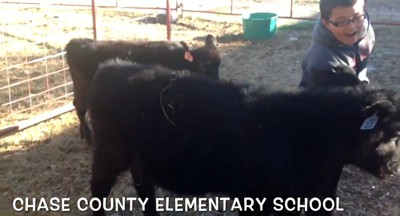 Chase County Elementary School student wrangles a calf