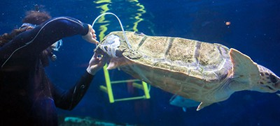 Birch Aquarium's loggerhead sea turtle is fitted with a 3D-printed brace for her shell
