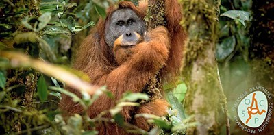 Tapanuli Orangutan (Pongo tapanuliensis), a newly discovered isolated species distinct from northern Sumatran and Bornean species. Photo by Andrew Walmsley