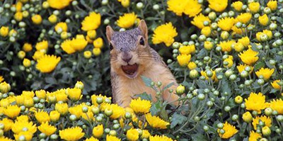 Squirrel in the Hardy Mums. Photo by Corey Seeman