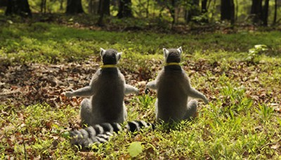 Two ring-tailed lemurs sit in the grass at the Duke Lemur Center in Durham, North Carolina