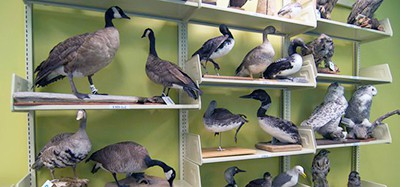 Alaska Resources Library and Information Services provides the public with an extensive selection of birds as part of its collection of items that are available for circulation