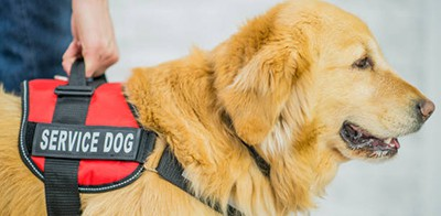 A purebred golden retriever dog is wearing a animal harness to indicate it is a service dog that will aid blind, visually impaired, or special needs people to stay safe