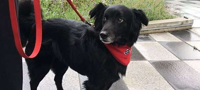 Pig, a six-year-old border collie cross, is one of the therapy dogs that will be available Saturday at the canine library. Photo by Roshini Nair / CBC