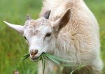 White goat chews grass (Photo: klimkin/Pixabay)