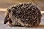 Hedgehog in profile (Alexas_Fotos/Pixabay)